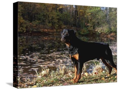 Rottweiler Dog, Illinois, USA-Lynn M^ Stone-Stretched Canvas Print