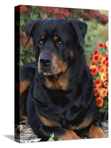 Rottweiler Dog Portrait, Illinois, USA-Lynn M^ Stone-Stretched Canvas Print