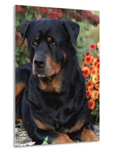 Rottweiler Dog Portrait, Illinois, USA-Lynn M^ Stone-Metal Print