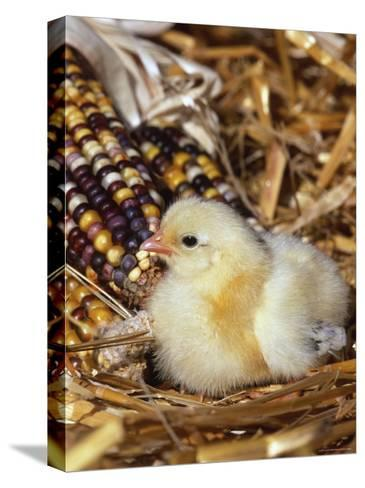 Domestic Chicken Chick-Lynn M^ Stone-Stretched Canvas Print