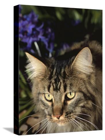 Maine Coon Domestic Cat, USA-Lynn M^ Stone-Stretched Canvas Print