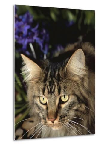 Maine Coon Domestic Cat, USA-Lynn M^ Stone-Metal Print