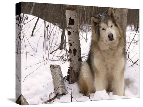 Alaskan Malamute Dog, USA-Lynn M^ Stone-Stretched Canvas Print
