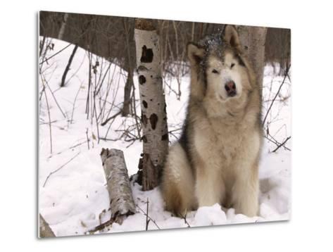 Alaskan Malamute Dog, USA-Lynn M^ Stone-Metal Print