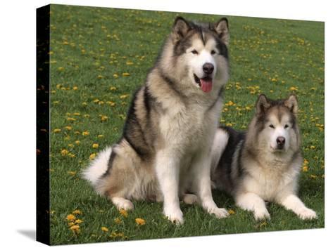 Two Alaskan Malamute Dogs, USA-Lynn M^ Stone-Stretched Canvas Print