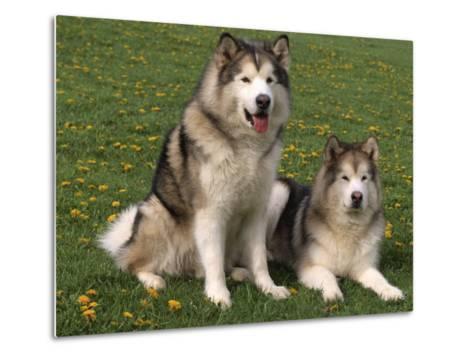 Two Alaskan Malamute Dogs, USA-Lynn M^ Stone-Metal Print