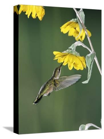 Ruby Throated Hummingbird, Female Feeds at Sunflower, Texas, USA-Rolf Nussbaumer-Stretched Canvas Print
