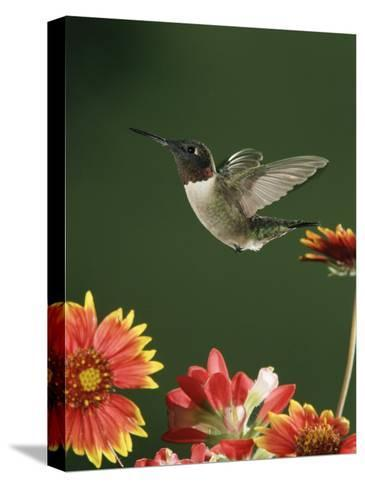 Ruby Throated Hummingbird, Male Flying, Texas, USA-Rolf Nussbaumer-Stretched Canvas Print