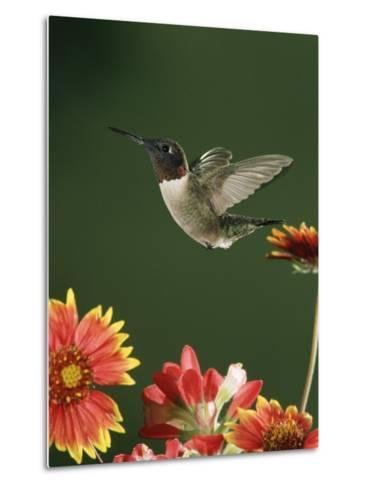 Ruby Throated Hummingbird, Male Flying, Texas, USA-Rolf Nussbaumer-Metal Print