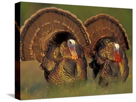 Wild Turkey Males Displaying, Texas, USA-Rolf Nussbaumer-Stretched Canvas Print