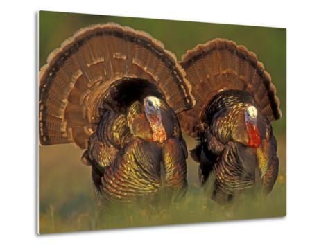 Wild Turkey Males Displaying, Texas, USA-Rolf Nussbaumer-Metal Print