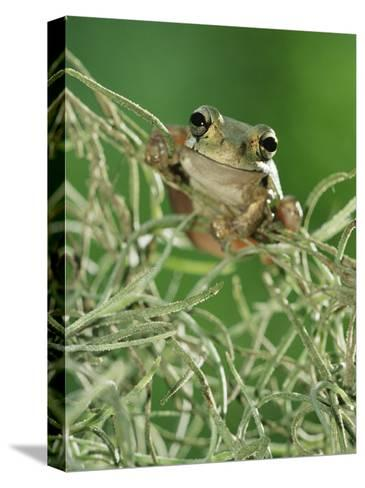 Mexican Treefrog, on Spanish Moss, Texas, USA-Rolf Nussbaumer-Stretched Canvas Print