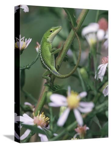 Green Anole, Juvenile, Texas, USA-Rolf Nussbaumer-Stretched Canvas Print