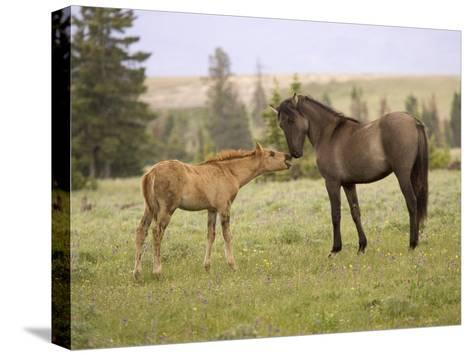 Mustang / Wild Horse Filly Touching Nose of Mare from Another Band, Montana, USA-Carol Walker-Stretched Canvas Print
