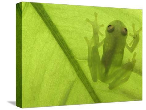 Glass Frog, Amazonia, Se Ecuador-Pete Oxford-Stretched Canvas Print