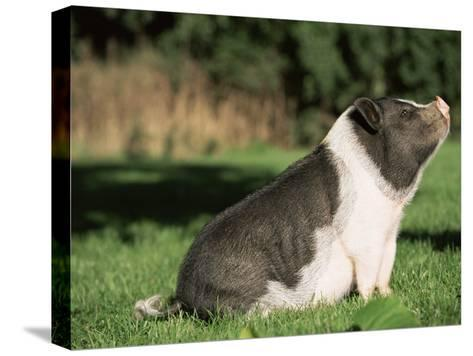 Pot Bellied Pig Sitting, USA-Lynn M^ Stone-Stretched Canvas Print