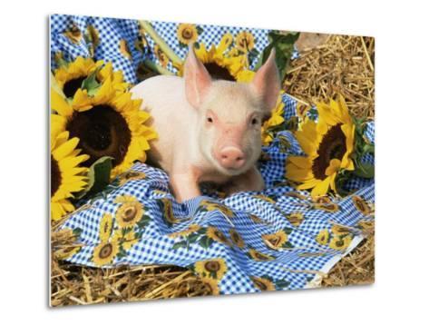 Domestic Piglet and Sunflowers, USA-Lynn M^ Stone-Metal Print