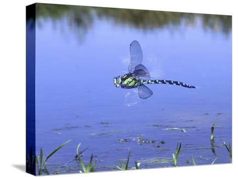 Southern Hawker Dragonfly Male Hovering Over Pond, UK-Kim Taylor-Stretched Canvas Print