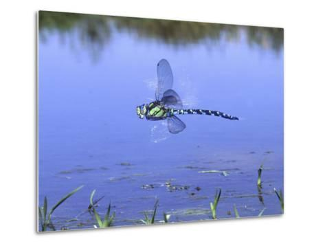 Southern Hawker Dragonfly Male Hovering Over Pond, UK-Kim Taylor-Metal Print