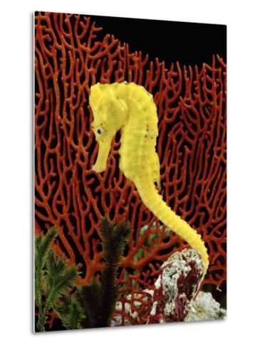 Golden Seahorse, Portraits, UK-Jane Burton-Metal Print
