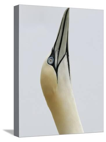 Northern Gannet, in Display Posture, Bass Rock, Scotland, UK-Pete Cairns-Stretched Canvas Print