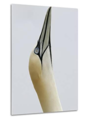 Northern Gannet, in Display Posture, Bass Rock, Scotland, UK-Pete Cairns-Metal Print