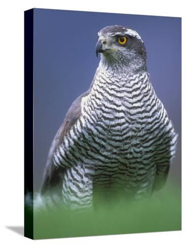 Northern Goshawk, Male Close-Up, Scotland-Pete Cairns-Stretched Canvas Print