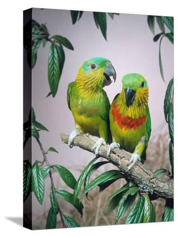 Salvadori's Fig Parrots, Pair (Psittaculirostris Salvadorii)-Reinhard-Stretched Canvas Print