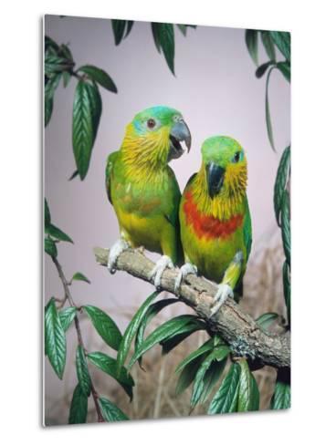 Salvadori's Fig Parrots, Pair (Psittaculirostris Salvadorii)-Reinhard-Metal Print