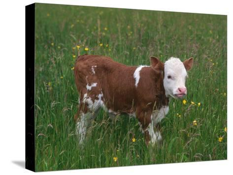 Cows, Domestic Cattle, Calf, Europe-Reinhard-Stretched Canvas Print