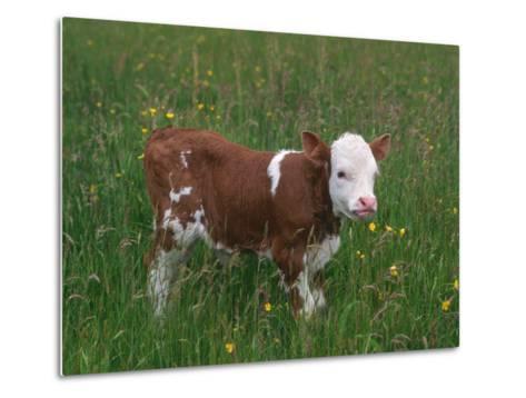 Cows, Domestic Cattle, Calf, Europe-Reinhard-Metal Print