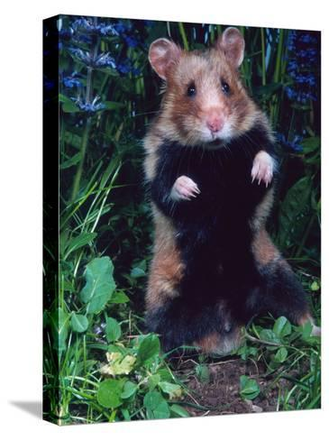 Common Hamster (Cricetus Cricetus)-Reinhard-Stretched Canvas Print