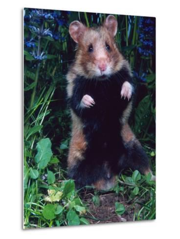 Common Hamster (Cricetus Cricetus)-Reinhard-Metal Print