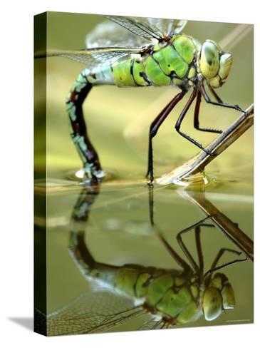 Female Emperor Dragonfly (Anax Imperator) Laying Eggs at the Edge of a Pond, Cornwall, UK-Ross Hoddinott-Stretched Canvas Print