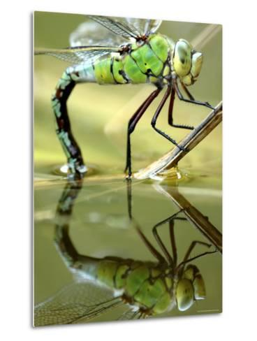 Female Emperor Dragonfly (Anax Imperator) Laying Eggs at the Edge of a Pond, Cornwall, UK-Ross Hoddinott-Metal Print