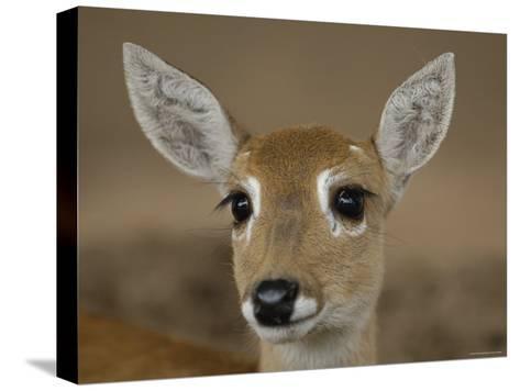 Pampas Deer, Fawn (Ozotoceros Bezoarticus) Serra Da Bodoquena, Mato Grosso Do Sur Province-Pete Oxford-Stretched Canvas Print