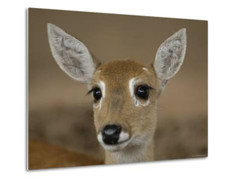 Pampas Deer, Fawn (Ozotoceros Bezoarticus) Serra Da Bodoquena, Mato Grosso Do Sur Province-Pete Oxford-Metal Print