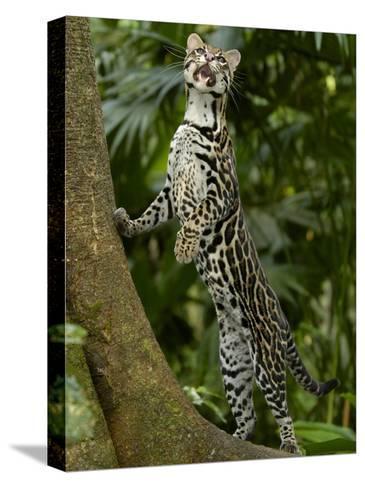 Ocelot (Felis / Leopardus Pardalis) Amazon Rainforest, Ecuador-Pete Oxford-Stretched Canvas Print