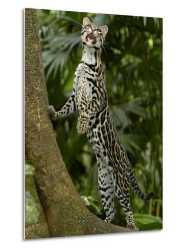 Ocelot (Felis / Leopardus Pardalis) Amazon Rainforest, Ecuador-Pete Oxford-Metal Print