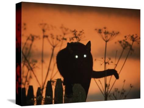 Black Domestic Cat Silhouetted Against Sunset Sky, Eyes Reflecting the Light, UK-Jane Burton-Stretched Canvas Print