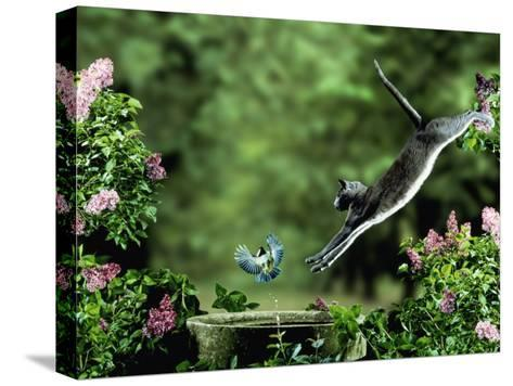 Domestic Cat Leaping at Coal Tit on Bird Bath-Jane Burton-Stretched Canvas Print