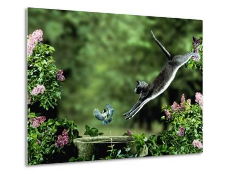 Domestic Cat Leaping at Coal Tit on Bird Bath-Jane Burton-Metal Print