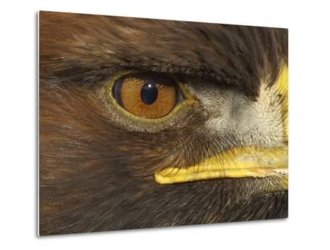 Golden Eagle Adult Portrait, Close up of Eye, Cairngorms National Park, Scotland, UK-Pete Cairns-Metal Print