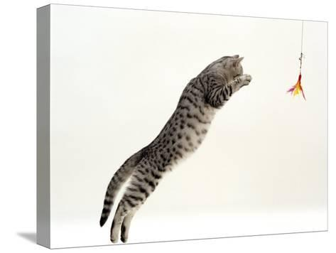 Domestic Cat, 5-Month Silver Spotted Shorthair Male, Jumping at Lure, Full Stretch, Back Hollow-Jane Burton-Stretched Canvas Print