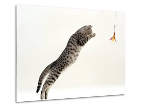Domestic Cat, 5-Month Silver Spotted Shorthair Male, Jumping at Lure, Full Stretch, Back Hollow-Jane Burton-Metal Print