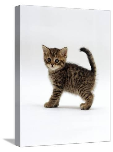 Domestic Cat, 6-Week Tabby Chinchilla Crossed with British Shorthair Kitten-Jane Burton-Stretched Canvas Print