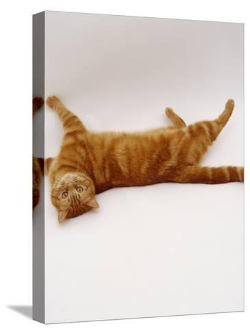 Domestic Cat, British Shorthair Red Tabby Female Rolling on Back-Jane Burton-Stretched Canvas Print