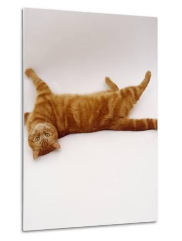 Domestic Cat, British Shorthair Red Tabby Female Rolling on Back-Jane Burton-Metal Print