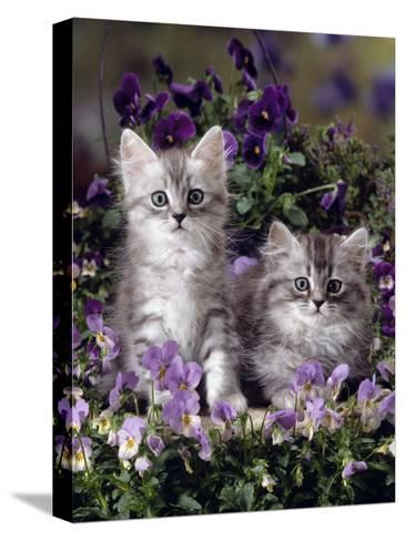 Domestic Cat, 8-Week, Two Fluffy Silver Tabby Kittens Amongst Winter-Flowering Pansies-Jane Burton-Stretched Canvas Print