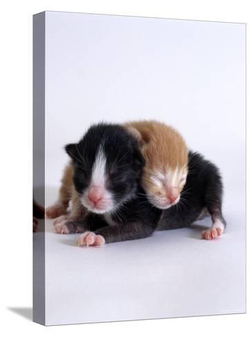 Domestic Cat, 1-Day Kittens Black-And-White and Ginger-Jane Burton-Stretched Canvas Print
